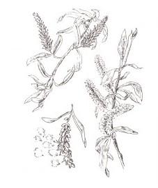 Ива, краснотальник, ветла, верба, ивовая кора - Salicis cortex (ранее: Cortex Salicis).