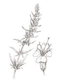 Иссоп лекарственный, пчелиная трава, пахучий иссоп, Hyssopi herba (ранее: Herba Hyssopi)