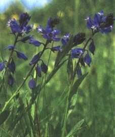 Истод горький, горький дроздовник, вознесенский цвет, млечник, ужовый цвет, паломничий цвет, трава истода горького с корнями - Polygalae amarae herba cum radice (ранее: Herba Polygalae amarae cum radicibus)