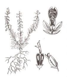 Истод горький, горький дроздовник, вознесен-ский цвет, млечник, ужовый цвет, паломничий цвет, трава истода горького с корнями - Polygalae amarae herba cum radice (ранее: Herba Polygalae amarae cum radicibus)