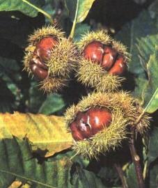 Каштан посевной, или благородныйя, листья каштана - Castaneae folium (ранее: Folia Castaneae)