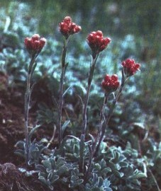 Кошачья лапка двудомная, цветы кошачьей лапки - Antennariae dioicae flos (ранее: Flores Antennariae dioicae), трава кошачьей лапки - Antennariae dioicae herba (ранее: Herba Antennariae dioicae)