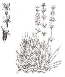Лаванда узколистная,цветки лаванды - Lavandulae flos (ранее: Flores Lavandulae), лавандовое масло - Lavandulae aetheroleum (ранее: Oleum Lavandulae)