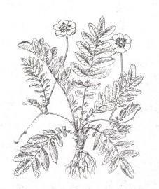 Лапчатка гусиная, гусиные лапки, судорожная трава, мартинова рука, трава лапчатки гусиной - Anserinae herba (ранее: Herba Anserinae)
