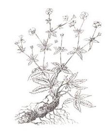 Лапчатка прямостоячая, калган, кровяной корень, красный корень, семь пальцев, поносный корень, узик, корневище калгана - Tormentillae rhizoma (ранее: Rhizoma Tormentillae)