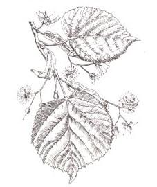 Липа, липовый цвет - Tiliae flos (ранее: Flores Tiliae), липовый лист - Tiliae folium (ранее: Folia Tiliae), липовый древесный уголь - Ligni Tiliae carbo pulveratus (ранее: Carbo Ligni Tiliae pulveratus), кора липы - Tiliae cortex (ранее: Cortex Tiliae)