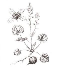 Ложечная трава лекарственная, горькая ложечница, цинготная трава, ложечный салат, ложечная трава - Cochleariae herba (ранее: Herba Cochleariae), листья ложечной травы - Cochleariae folium (ранее: Folia Cochleariae)