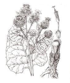 Лопух большой, репей, репейник, корень лопуха - Bardanae radix (ранее: Radix Bardanae)