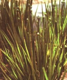 Лук репчатый, столовый лук, луковицы лука репчатого - Allii cepae sulbus (ранее: Bulbus Allii cepae)