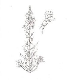 Льнянка обыкновенная, женский лен, лягушачий зев, желтый львиный зев, трава льнянки - Linariae herba (ранее: Herba Linariae)