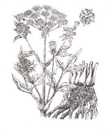 Любисток лекарственный, купальная трава, медведица, любовный стебель, корень любистока - Levistici radix (ранее: Radix Levistici), трава любистока - Levistici herba (ранее: Herba Levistici)