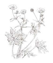 Лютик едкий, масляный цветок, жгучая трава, подагровая трава, трава лютика едкого - Ranunculi acris herba (ранее: Herba Ranunculi acris)