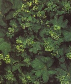 Манжетка обыкновенная, заячье пальтишко, росяная трава, трава манжетки - Alchemillae herba (ранее: Herba Alchemillae)