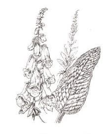 Наперстянка пурпурная, перчаточная трава, лесной колокольчик, лесной бубенчик, листья наперстянки пурпурной - Digitalis purpureae folium (ранее: Folia Digitalis purpureae)