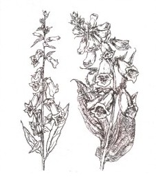 Наперстянка шерстистая, листья наперстянки шерстистой Digitalis lanatae folium (ранее: Folia Digitalis lanatae)