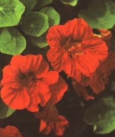 Настурция большая, салатный цвет, капуцины, трава настурции -Tropaeoli herba (ранее: Herba Tropaeoli)