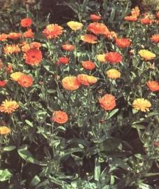 Ноготки, или календула лекарственная, масляный цвет, золотой цвет, солнцеворот, цветок мертвых, цветы ноготков - Caleridulae flos (ранее: Flores Calendulae sine Calycibns)