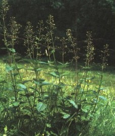 Норичник шишковатый, трава норичника - Scrophulariae heiba (ранее: Heiba Scrophulariae), корень норичника - Scrophulariae radix (ранее: Radix Scrophulariae)
