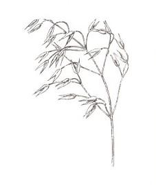 Птерокарпус сандаловый, красное сандаловое дерево - Santali lignum rubri (ранее: Lignum Santali rubrum)