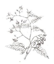 Паслен сладко-горький, Аптечное наименование: стебли паслена - Dulcamara stipes (ранее: Stipites Dulcamara)