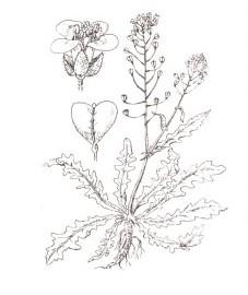 Пастушья сумка, крестьянская горчица, сердечная трава, ложечки. Используемые части: надземная часть растения. Аптечное наименование: трава пастушьей сумки - Bursae pastoris herba (ранее: Herba Bursae pastoris).