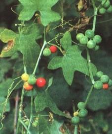 Переступень двудомный, или бриония двудомная, священная репа, собачья репа, чертова репа. Аптечное наименование: корень брионии - Bryoniae radix (ранее: Radix Bryoniae)