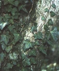 Плющ обыкновенный, Аптечное наименование: листья плюща - Hederae helicis folium (ранее: Folia Hederae helicis)