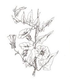 Повой заборный, вьюнок заборный, чертова кишка. Аптечное наименование: трава повоя заборного - Convolvuli sepium herba (ранее: Herba Convolvuli sepium)