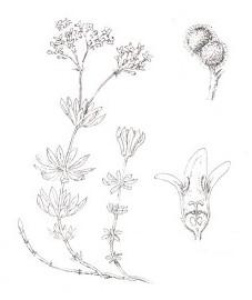Подмаренник душистый, ясменник, сердечный друг, печеночная трава, майский цвет, майская трава, чайная трава, лесной чай. Аптечное наименование: трава подмаренника - Asperulae herba (ранее: Herba Asperulae)