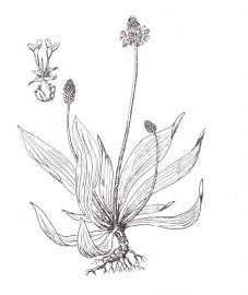 Подорожник ланцетный Аптечное наименование: листья подорожника ланцетного - Plantaginis lanceolatae folium (ранее: Folia Plantaginis lanceolatae)