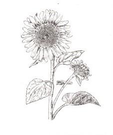 Подсолнечник однолетний, цветки подсолнечника - Helianthi flos (ранее: Flores Helianthi), масло подсолнечное,- Helianthi oleum (ранее: Oleum Helianthi)