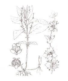 Пролесник однолетний, Аптечное наименование: трава пролесника - Mercurialis herba (ранее: Herba Mercurialis)