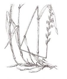 Пырей ползучий, корень-трава, собачья трава, червь-трава. Аптечное наименование: корневище пырея - Graminis rhizoma (ранее: Rhizoma Graminis)