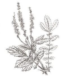 Репешок, полевой самец, валетовы вши, пятилистник, греческая печеночная трава, косичка. Аптечное наименование: трава репешка - Agrimoniae heiba (ранее: Heiba Agrimoniae)