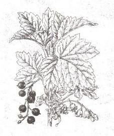 Смородина черная, альпийская ягода, подагровая ягода. плоды черной смородины - Ribis nigri fructus (ранее: Fractus Ribis nigri), листья черной смородины - Ribis nigri folium (ранее: Folia Ribis nigri)