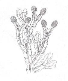 Фукус, горбатый фукус, морской дуб,свиной фукус, Используемые часта: слоев ища обоих видов водорослей. Fucus vesiculosus.