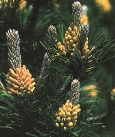 Синеголовник полевой, пустотный чертополох. корень синеголовника - Eryngii radix (ранее: Radix Eryngii).  - лекарственные растения