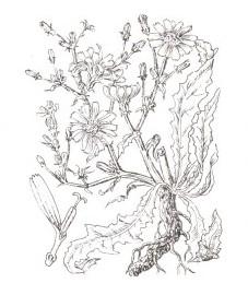 Цикорий обыкновенный, крысиный корень. корень цикория - Cichorii radix (ранее: Radix Cichorii), трава цикория - Cichorii herba (ранее: Herba Cichorii