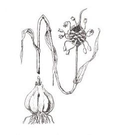 Чеснок, луковицы чеснока - АННsativi bulbus (ранее: Bulbus Allii sativi)
