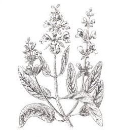 Шалфей лекарственный, благородный шалфей, королевский шалфей, крестовый шалфей, салатный лист. листья шалфея - Salviae folium (ранее: Folia Salviae), шалфейное масло - Salviae aetheroleum (ранее: Oleum Salviae)