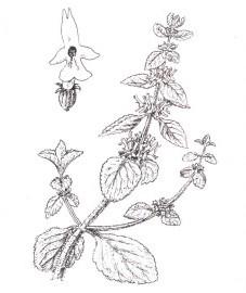 Шандра обыкновенная, постенная шандра, белая шандра. трава шандры - Marrobii herba (ранее: Herba Marrubii)