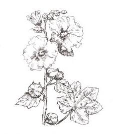 Шток-роза розовая, цветки шток-розы - Malvae arboreae flos (ранее: Flores Malvae arboreae)