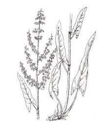 Щавель кислый, салатный щавель, кислый горец. трава щавеля кислого - Rumicis acetosae heiba (ранее: Heiba Rumicis acetosae).