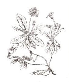 Ястребинка волосистая, скальный цветочек, малая ястребинка, мышиное ушко. трава ястребинки волосистой - Hieracii pilosellae herba (ранее: Herba Hieracii pilosellae; в аптеках до сих пор еще встречается более раннее название: Herba Auriculae muris).