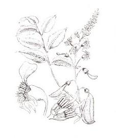 Бальзамовое дерево перуанское, перуанский бальзам - Balsamum peruvianum