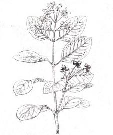 Больдо, листья больдо - Boldo folium (ранее: Folia Boldo)