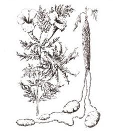 Гарпагофитум, корень гарпагофитума - Harpagophyti radix (ранее: Radix Harpagophyti).