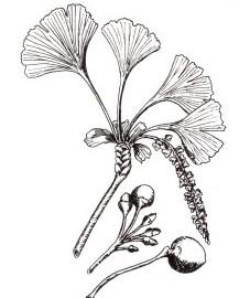 Гинкго двулопастный, или храмовое дерево, листья гинкго двулопастного - Ginkgo bilobae folium (ранее: Folia Ginkgo bilobae).