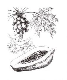 Дынное дерево, или папайя, млечный сок незрелых плодов папайи - Papaya-Latex (Papainum, Papayotinum), листья папайи - Caricae papaye folium (ранее: Folia Caricae papayae).