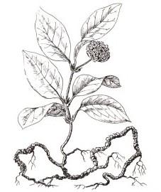 Истод сенега,  корень сенеги - Senegae radix (ранее: Radix Senegae), экстракт сенеги - Senegae extractum (ранее: Extractum Senegae), сироп сенеги - Senegae sirupus (ранее: Sirup us Senegae)